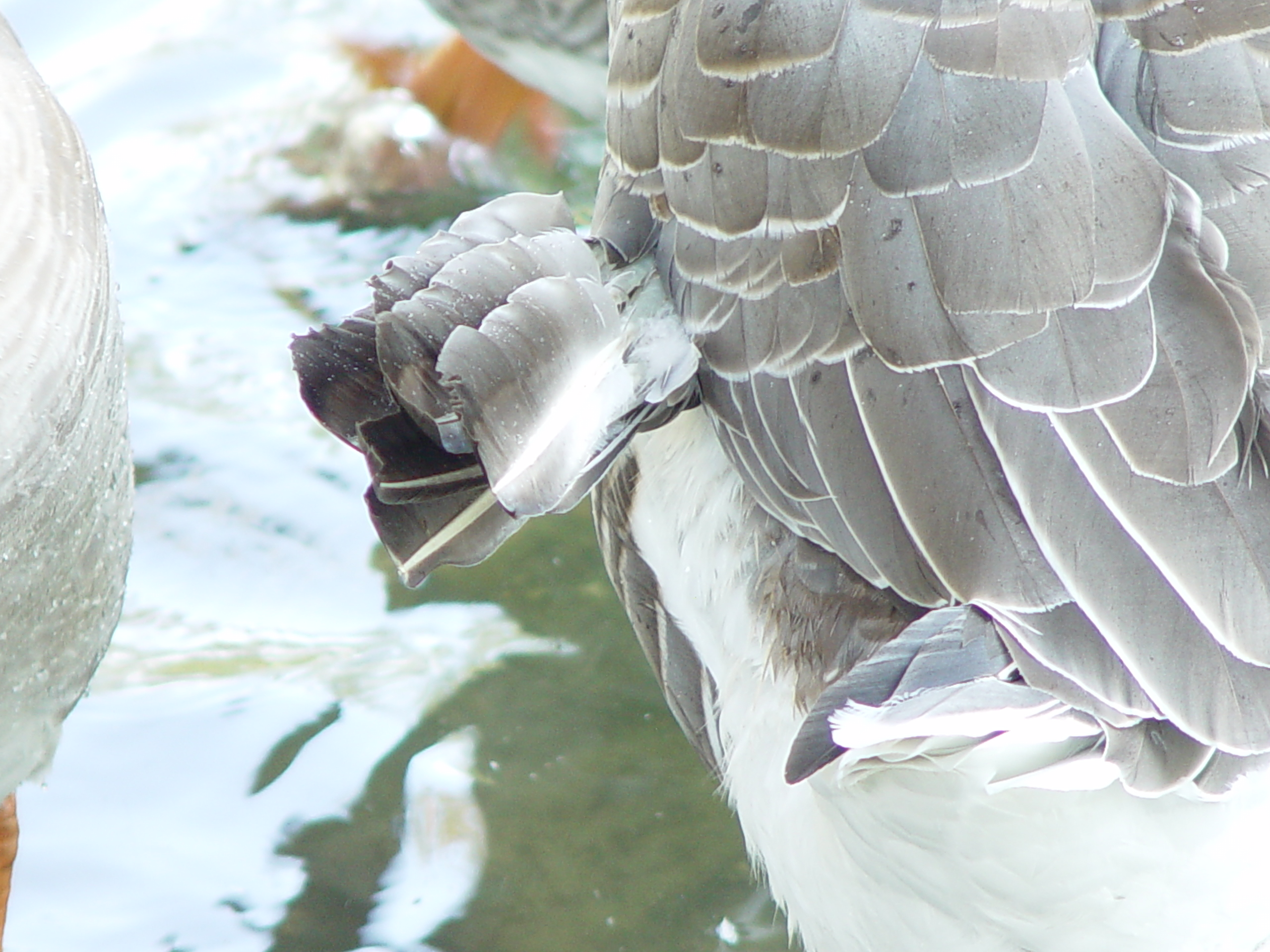 Angle wing on goose
